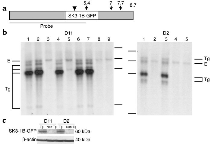 Characterization of SK3-1B-GFP Tg mice. (a) Locations of Thy1.2 (gray) a...