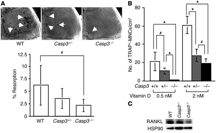 Osteoclast function in caspase-3–deficient mice. (A) Representative imag...