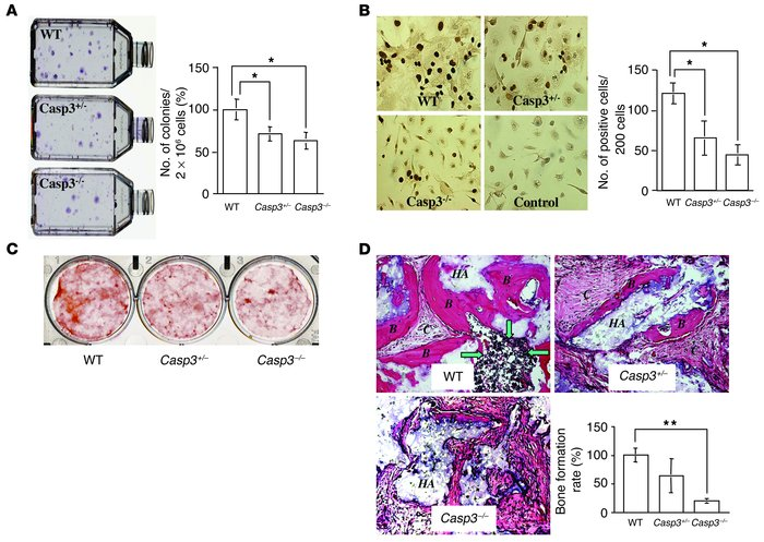 Proliferation and osteogenic differentiation of BMSSCs in caspase-3–defi...