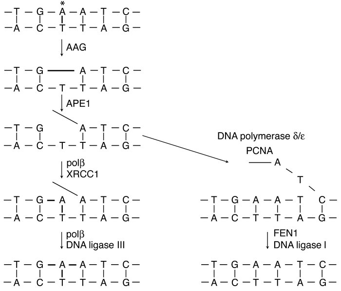 Schematic illustrating base excision repair by a simple DNA glycosylase,...