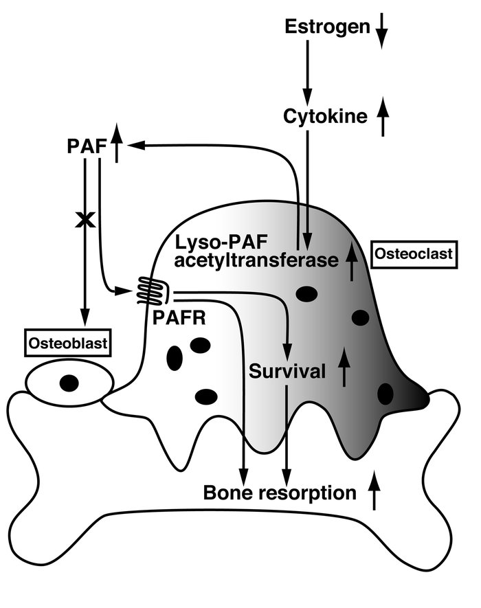 Proposed model of PAF action in bone resorption. For details, see Discus...