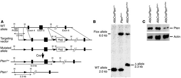 Generation of hepatocyte-specific Pten-deficient (AlbCrePtenflox/flox) m...