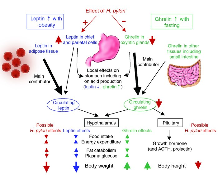 JCI - Helicobacter pylori persistence: biology and disease