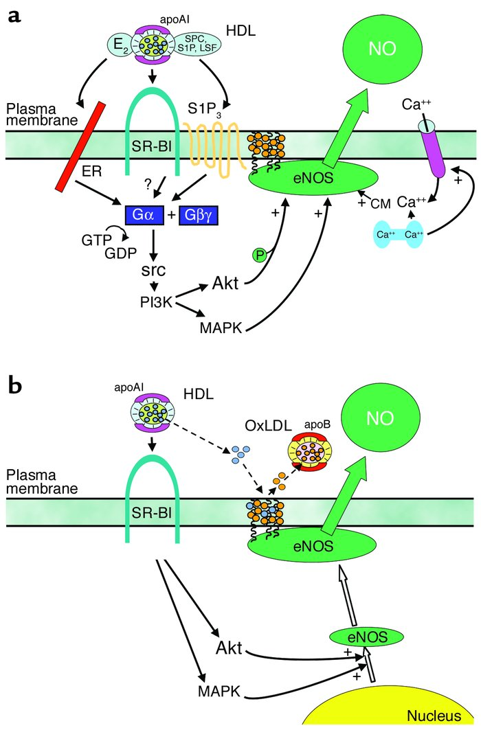 HDL enhances NO production by eNOS in vascular endothelium. (a) HDL caus...