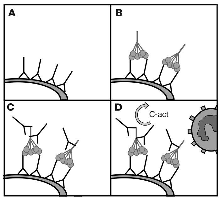 Anti-C1q Autoantibodies Deposit In Glomeruli But Are