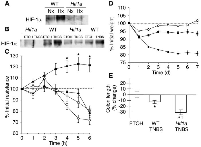 Impairment of barrier function through conditional deletion of Hif1a in ...