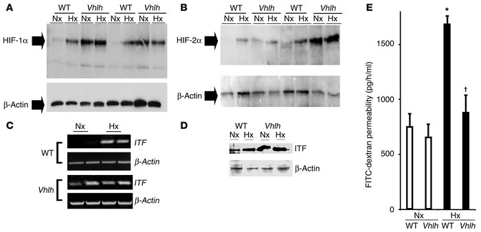 Conditional Vhlh deletion results in constitutive activation of the HIF-...