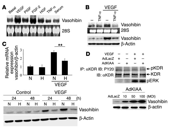 Modulation of vasohibin expression and the effect of vasohibin on VEGF-s...
