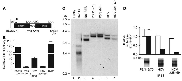 IRES-mediated translation in A549 cells infected with recombinant adenov...