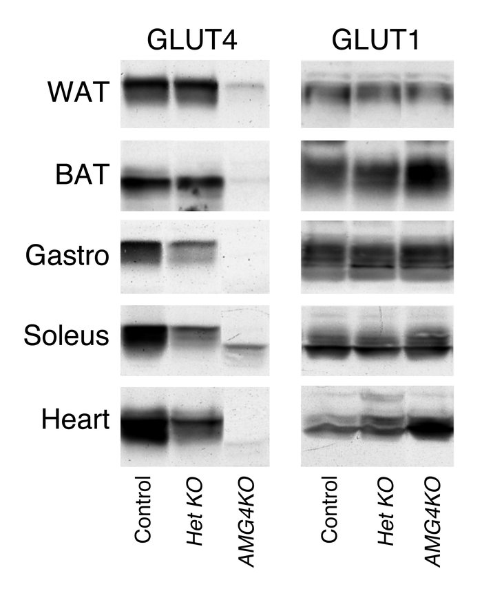 Immunoblot analysis of GLUT4 and GLUT1 from control, Het KO, and AMG4KO ...