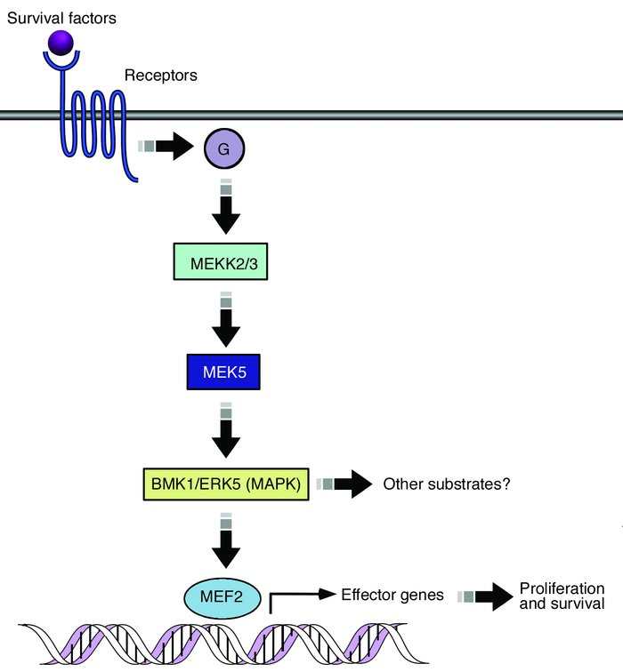 MAPK signaling pathways. Survival signals activate MEKK2/3, which activa...