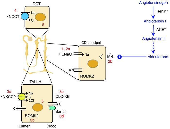 The renin-angiotensin-aldosterone axis and molecular pathways of sodium ...