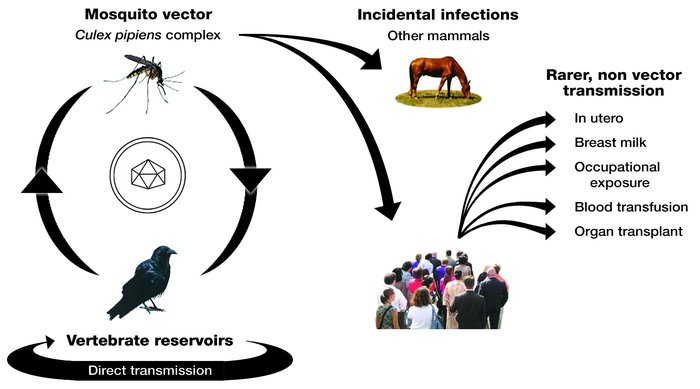 WNV is maintained in an enzootic mosquito-bird-mosquito cycle. Humans an...