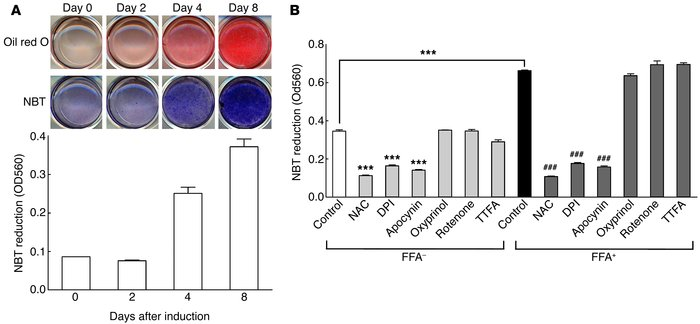 Production of ROS in 3T3-L1 adipocytes. (A) ROS production during differ...