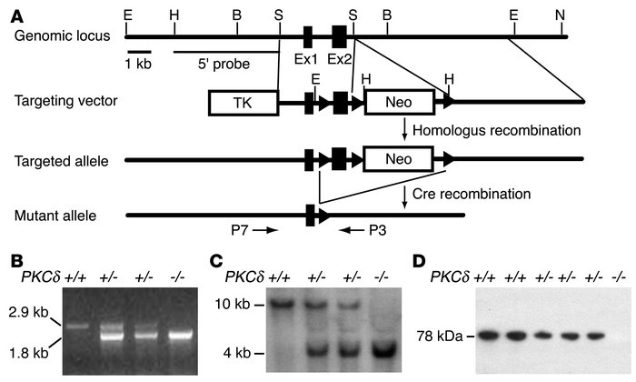 Generation of PKCδ-null mice. (A) Organization of the mouse PKCδ gene, t...