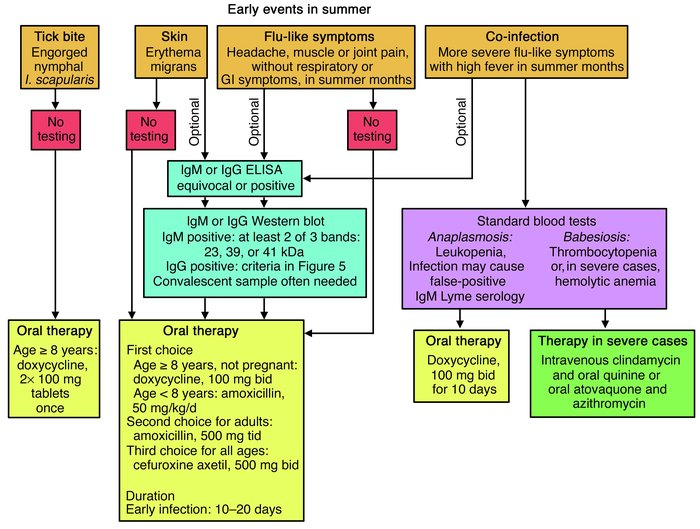 JCI - The emergence of Lyme disease