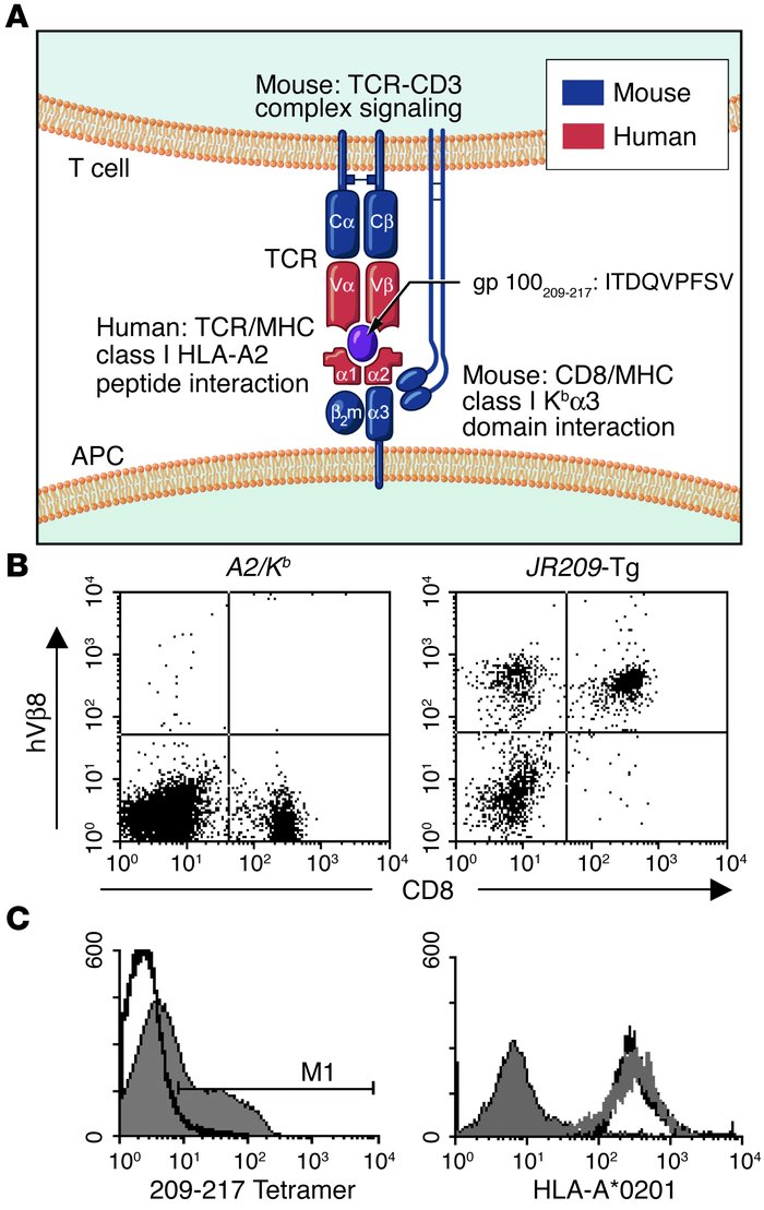 Characterization of the human-mouse TCR–HLA-A2/Kb transgenic mouse model...
