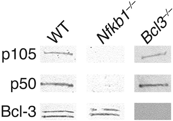 Protein expression of p105, p50, and Bcl-3 from WT, Nfkb1 knockout (–/–)...