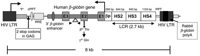 Schematic diagram of the self-inactivating βA-T87Q-globin lentiviral vec...