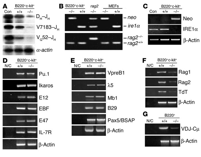 Impaired VDJ rearrangements in B lymphocytes in the absence of IRE1α. (A...