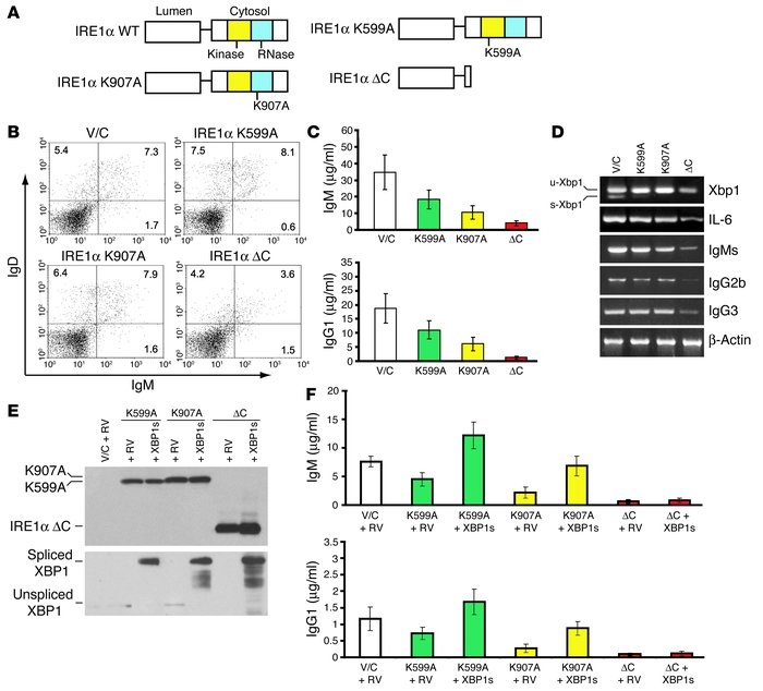 IRE1α kinase and RNase activities regulate the production of Ig through ...