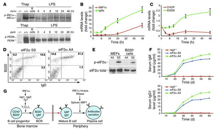 PERK-eIF2α UPR signaling is not required for plasma cell differentiation...