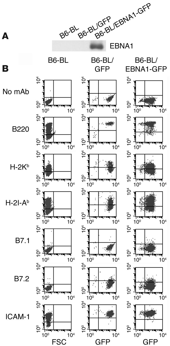 Generation and characterization of an EBNA1 expressing BL cell line. (A)...