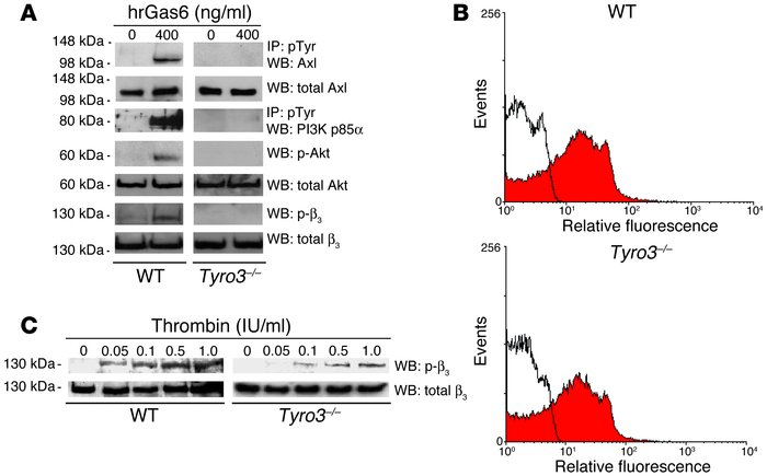 Gas6 signaling through its receptors Tyro3, Axl, and Mer. (A) Gas6 promo...