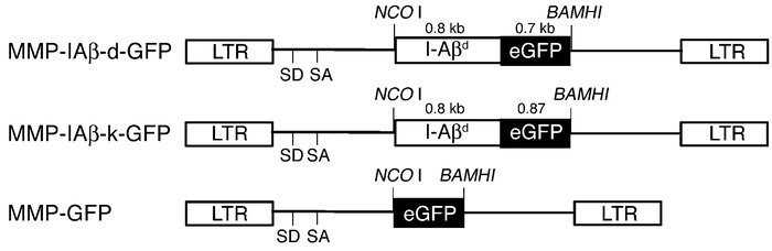 Diagram of MMP-based retroviral vectors encoding I-Aβd (MMP-IAβ-d-GFP) a...