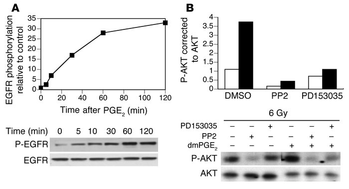 Stimulation of AKT phosphorylation by dmPGE2 is dependent on src activit...