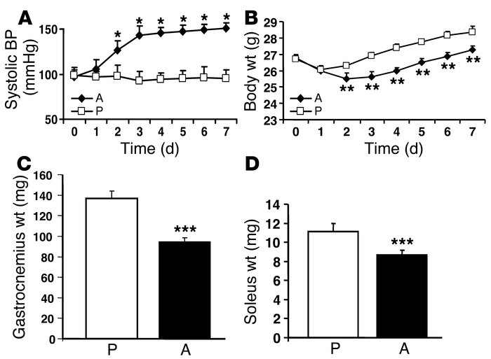 Angiotensin II produces muscle wasting in mice. C57BL/6 mice were either...