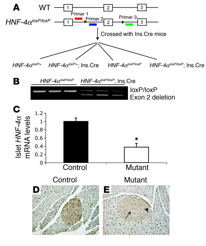 Derivation of β cell–specific HNF-4α knockout mice. (A) HNF-4αloxP/loxP ...