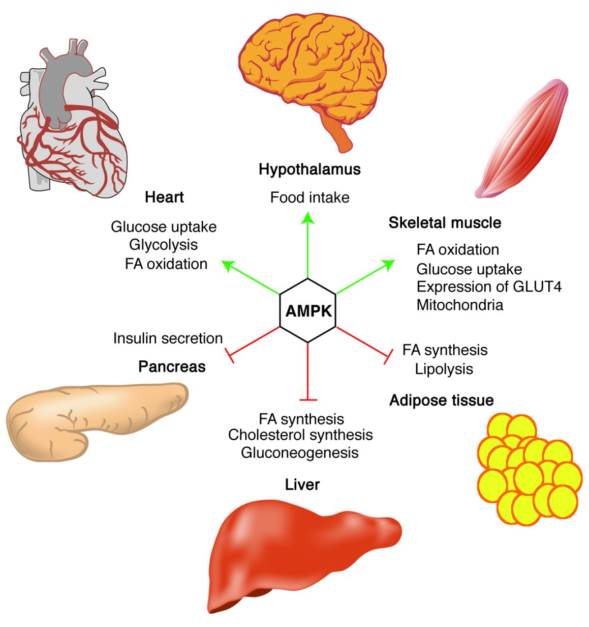 AMP-activated protein kinase: the guardian of cardiac energy status