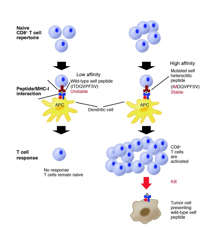 Yu et al. (16) investigate how host CD8+ T cells respond to a self pepti...