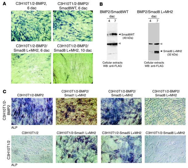 Tenogenic phenotype in C3H10T1/2-BMP2 cells due to forced expression of ...