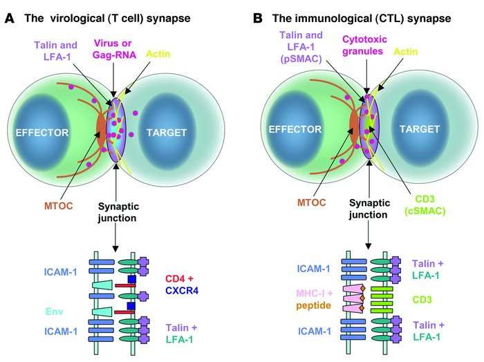 Similarities between the T cell–T cell VS and IS. The upper images of A ...