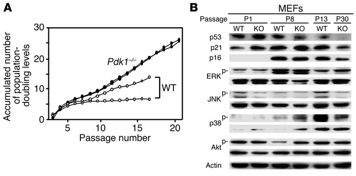 Outgrowing Pkd1–/– MEFs. (A) The 3T3-type culture of MEFs from Pkd1–/– a...