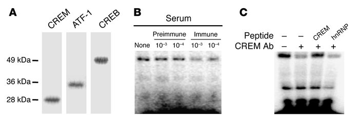 Characterization of a new anti–human CREM-specific antibody. (A) The new...