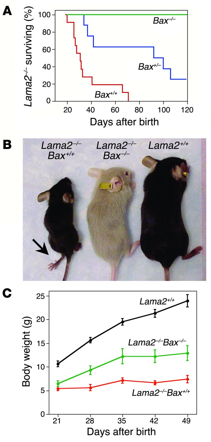 Inactivation of Bax eliminated early death and improved growth of lamini...