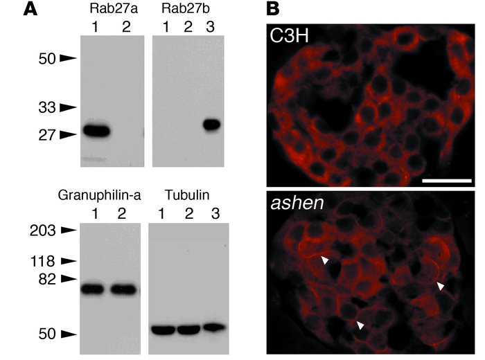 Expression of Rab27a, Rab27b, and granuphilin in pancreatic islets. (A) ...