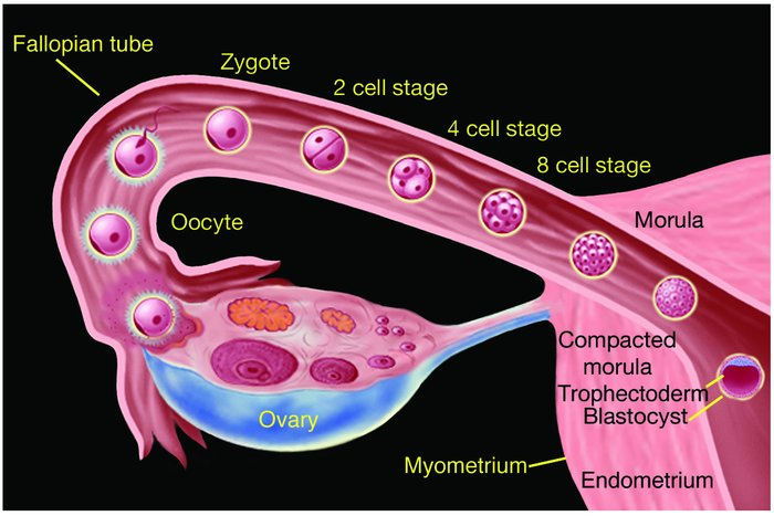 The early stages of human development from fertilization to blastocyst f...