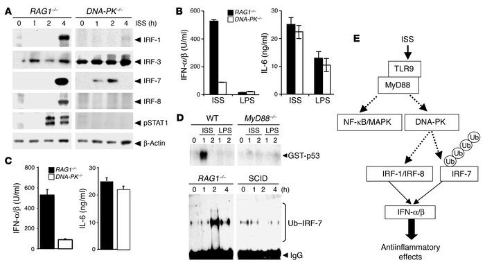 TLR9-activated DNA-PK mediates activation of IRFs and type I IFN via MyD...