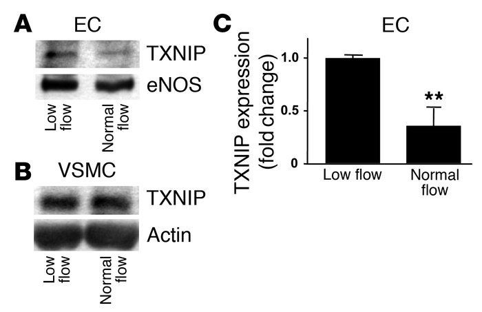 Normal flow downregulated TXNIP expression in ECs. After rabbit aortae w...