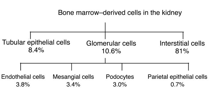 Formation of renal cells from bone marrow–derived cells. The total of 8%...