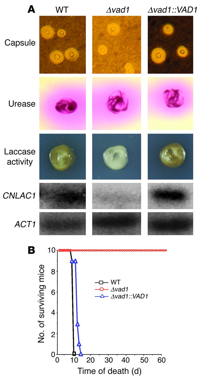 VAD1 mutants show reductions in laccase activity and transcription and m...