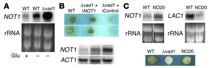 Increased abundance of NOT1 mRNA, due to deletion of VAD1 or constitutiv...