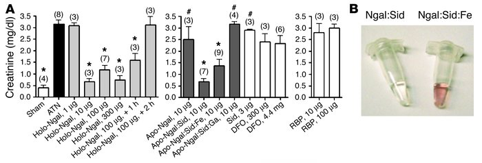 Rescue of ATN by Ngal. (A) Plasma creatinine in mice subjected to 30 min...