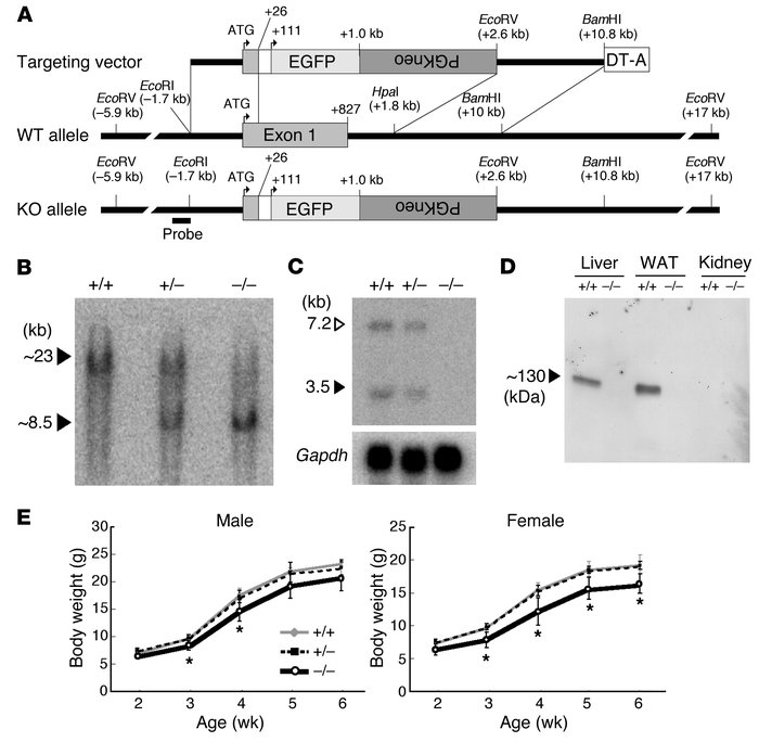 Targeted disruption of the βklotho gene. (A) Strategy for disruption of ...