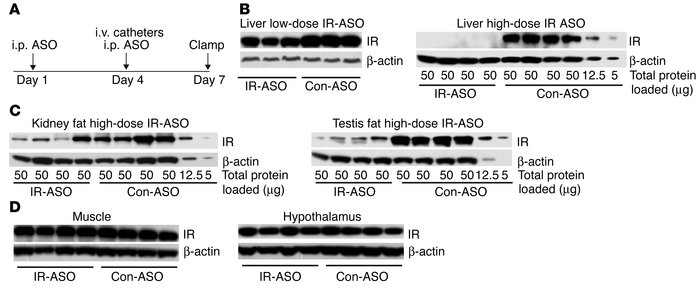 Treatment with IR-ASO decreases liver IR protein levels in mice. (A) Pro...