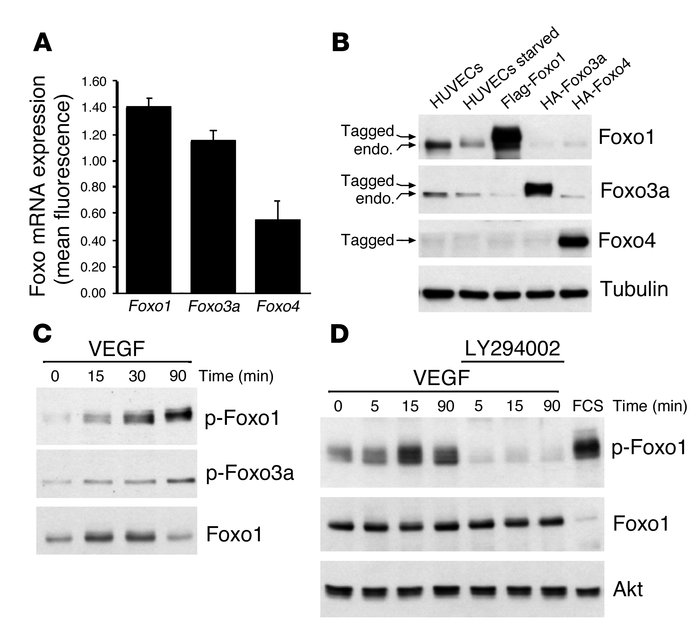 Foxo1 and Foxo3a are the predominant Foxo transcription factors in endot...